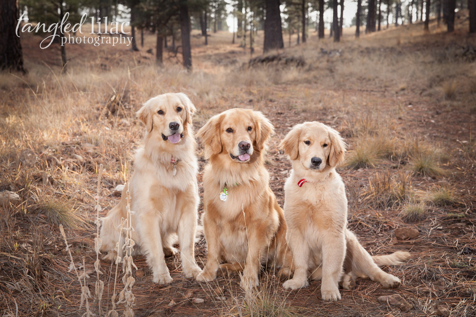 golden-retriever-dog001