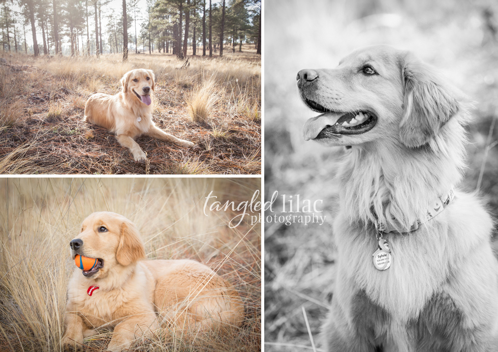 golden-retriever-dog002