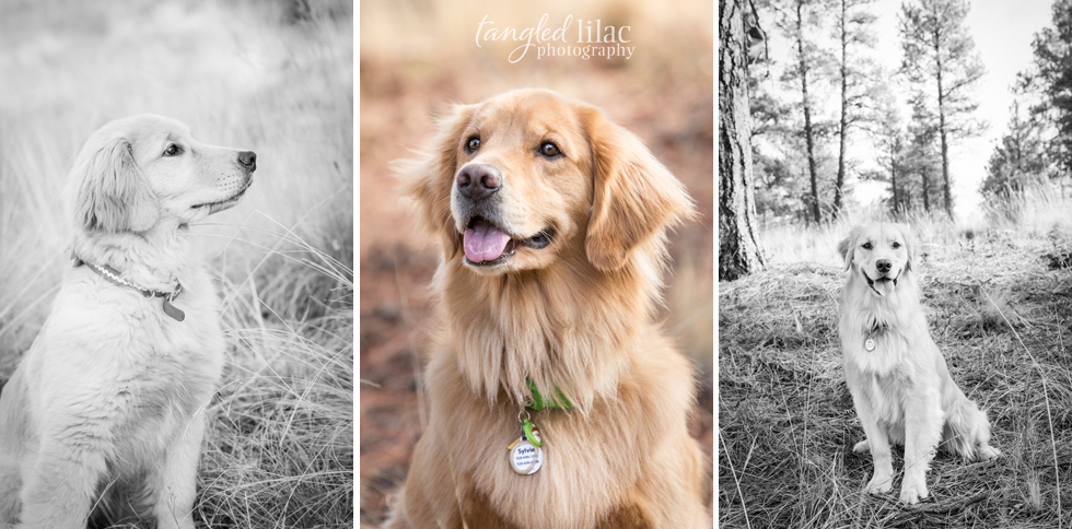 golden-retriever-dog003