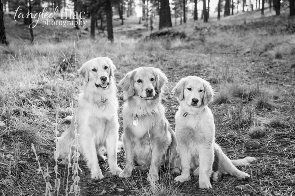 golden-retriever-dog005