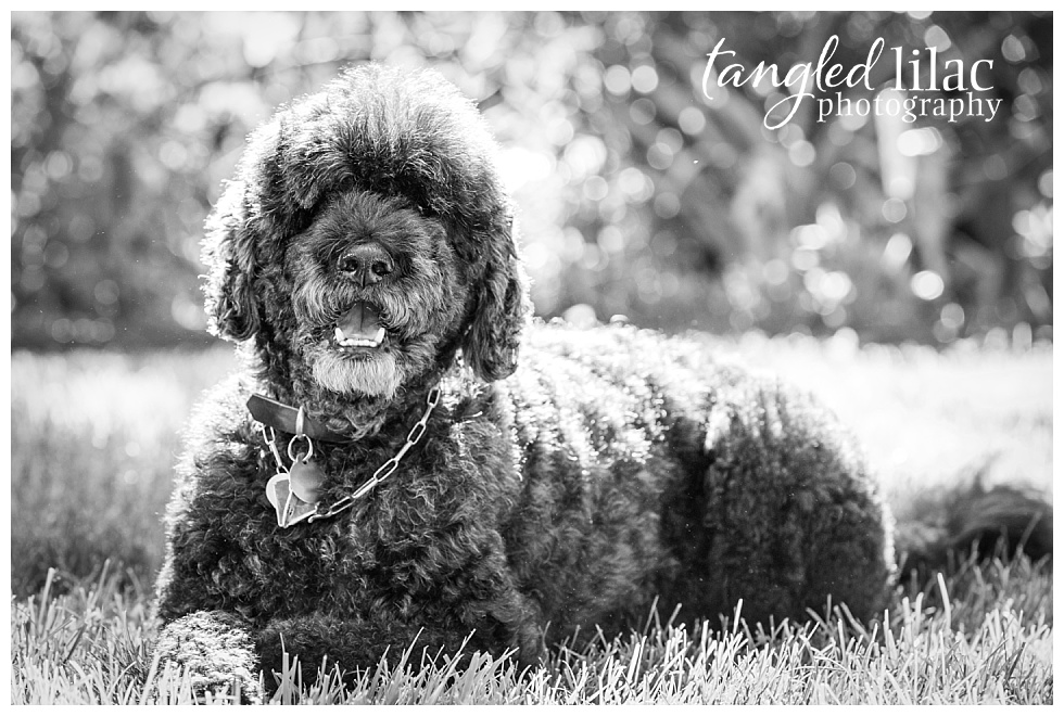 Dog,Dunstan,Portugese,